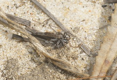 Robber Fly with captured fly. (ron_n_beths pics) Tags: westernaustralia perthbushlands robberfly