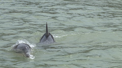 Dolphins (vinicius_gerlach) Tags: canon t7i rio riograndedonorte bra brasil brazil beach dolphin nature animal