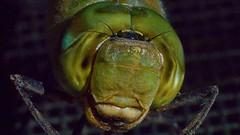Shadowy Anax (parmrussrap) Tags: dragonflies heads faces eyes anax junius entomology headshots odonata anisoptera aquatic