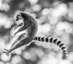 Flying Lemur Mono-1 (tiger3663) Tags: lemur ring tailed flying jumping yorkshire wildlife park black white mono