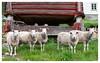 Sheepish (leo.roos) Tags: dier schaap 2470 boerdier norway spring lente 2012 noorwegen a900 darosa leoroos sonyczvariosonnar247028 norwayspring2012 sheep sal2470z variosonnart282470 variosonnar247028za