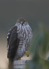cooper's/sharpie (Jan.Timmons) Tags: hawk coopershawk sharpshinnedhawk wildandfree nikkor500f4lens nikon17teleconverter pacificnorthwest visiting outdoors outside naturephotography bird