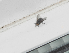 Large fly:  7.11.19. (VolVal) Tags: dorset bournemouth boscombe garden fly diptera windowframe november