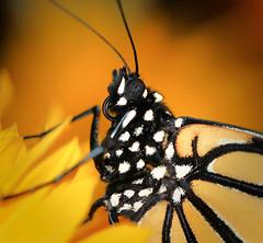 Portrait of a Monarch (WinRuWorld) Tags: monarchbutterfly monarchportrait insect invertebrate arthropod danausplexippus lepidoptera nymphalidae australia nsw newsouthwales orange dof depthoffield butterflyproboscis whitespots macrophotography canon canonphotography summer fauna butterfly