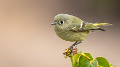 Ruby-crowned Kinglet (Bob Gunderson) Tags: birds california fortmason kinglets kingletsgnatcatchers northerncalifornia reguluscalendula rubycrownedkinglet sanfrancisco