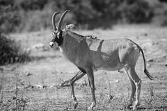 Roan Antelope Buck (Glatz Nature Photography) Tags: africa botswana chobenationalpark glatznaturephotography hippotragusequinus nikond850 roanantelope wildanimal wildlife monochrome blackandwhite