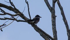 _U7A4023 (rpealit) Tags: scenery wildlife nature wallkill river national wildife refuge eastern kingbird bird