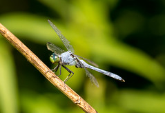_U7A4040 (rpealit) Tags: scenery wildlife nature wallkill river national wildife refuge male common pondhawk dragonfly
