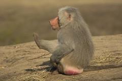 Mantelbaviaan - Safaripark Beekse Bergen - Hilvarenbeek (Jan de Neijs Photography) Tags: dierentuin zoo tamron tamron150600 150600 dierenpark nl holland thenetherlands dieniederlande diergaarde g2 animal dier beeksebergen safaripark safariparkbeeksebergen hilvarenbeek aap ape noordbrabant sbb mantelbaviaan baviaan baboon papiohamadryas tamron150600g2 mantlebaboon