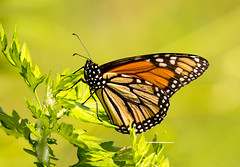 _U7A4060 (rpealit) Tags: scenery wildlife nature wallkill river national wildife refuge monarch butterfly