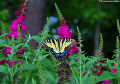 Butterfly+1_1110_TCW2 (nickp_63) Tags: tiger swallowtail butterfly tamron 18400 lens canon insect macro 7d