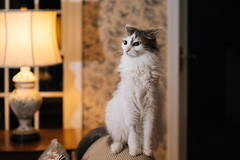 298-365 (Garen M.) Tags: buttercup jerry jojo nikkor2470f28s nikonz6 cats home