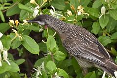 Red Wattlebird (Luke6876) Tags: redwattlebird wattlebird honeyeater bird animal wildlife australianwildlife nature