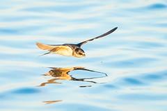 Holey Reflection (gseloff) Tags: caveswallow bird flight bif feeding insect water reflection nature wildlife brazorianationalwildliferefuge nwr texas gseloff