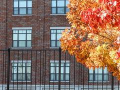 Autumn Fence (clarkcg photography) Tags: autumn fall orange yellow red leaf leaves fence iron steel black apartments windows brick downtown tulsa fencedfriday