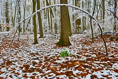 """Round About Winter... (deanspic) Tags: riverdale forest snow tree round leaves maple g3x """"riverdale forest"""" explore"""
