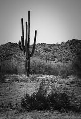 The desert's rose (Rabican7) Tags: arizona desert cactus dry dirt plants heat sun blackandwhite monochrome landscape nature unfriendly scenery traveling tucson backroad scenic unique