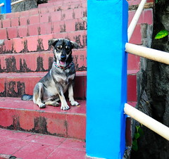 ,, Mr Baby Mickey ,, (Jon in Thailand) Tags: puppy littlemickey rescuedpuppy puppyrescue rescuedjunglepuppy dog k9 jungle blue green burgundy thespirithouse handrail steps nikon nikkor d300 175528 funnypuppy themonkeytemple littledoglaughedstories