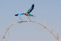 Brilliant Wings (Glatz Nature Photography) Tags: africa botswana choberiver glatznaturephotography nature nikond5 wildanimal wildlife lilacbreastedroller coraciascaudatus birdinflight onthewing takeoffshot