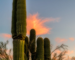 Saguaro Cacti (Ken Mickel) Tags: arizona cacti cactus clouds desert estrellla goodyeararizona kenmickelphotography landscape outdoors plants saguaro sky nature photography goodyear unitedstatesofamerica