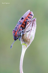 Spilostethus pandurus (Raul Espino) Tags: 2019 canon100mml canon6dmarkii macro macrofotografia natural naturaleza sevilla insectos spilostethuspandurus