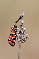 Zygaena fausta (ajmtster) Tags: macrofotografía macro insectos insecto invertebrados amt mariposa mariposas lepidopteros polillas zygaenidae zygaena zygaenafausta zigenas fausta zigena anverso