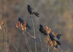 A Murder of Crows (Jan.Timmons) Tags: northwesterncrow corvuscaurinus smaller wildandfree nikkor500f4lens nikon17teleconverter pacificnorthwest outdoors outside naturephotography phototherapy genuscorvus collectivenouns crow birds crows flock