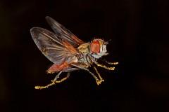 Rolf_Nagel-Fl-5384-Ectophasia oblonga (Insektenflug) Tags: ectophasiaoblonga tachinidfly raupenfliege snylteflue ectophasia oblonga tachinid fly flight parasit insects im flying fliegend airborne diptera fliege fliegen flug tachinidae insect insekt insekten insektenflug fauna makro zoologie imflug inflight minoltaerokkor75mm erokkor minolta rokkor 75mm envole en vole mecklenburg vorpommern neufeld leussow qualzow mirow