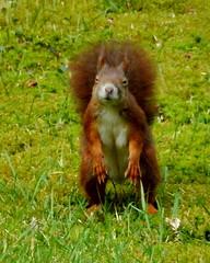Red Squirrel (hansjoergBo) Tags: nature animals squirrel sciurus