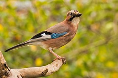 Eichelhäher (Güntus) Tags: garrulus glandarius rabenvogel coruidae standvogel jay arrendajo geai des chenes
