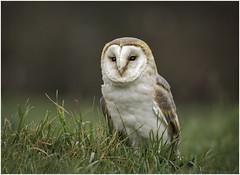 Barn Owl (Charles Connor) Tags: barnowl owls raptors huntingbirds birds birdphotography nature naturephotography featherdetail charlesconnor canondslr