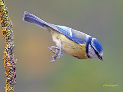 Herrerillo Común (Cyanistes caeruleus) (28) (eb3alfmiguel) Tags: aves passeriformes insectívoros paridae herrerillo común cyanistes caeruleus