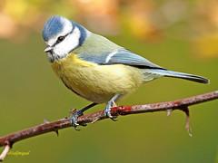 Herrerillo Común (Cyanistes caeruleus) (26) (eb3alfmiguel) Tags: aves passeriformes insectívoros paridae herrerillo común cyanistes caeruleus
