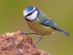 Herrerillo Común (Cyanistes caeruleus) (24) (eb3alfmiguel) Tags: aves passeriformes insectívoros paridae herrerillo común cyanistes caeruleus