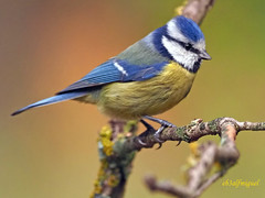Herrerillo Común (Cyanistes caeruleus) (17) (eb3alfmiguel) Tags: aves passeriformes insectívoros paridae herrerillo común cyanistes caeruleus
