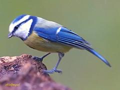 Herrerillo Común (Cyanistes caeruleus) (12) (eb3alfmiguel) Tags: aves passeriformes insectívoros paridae herrerillo común cyanistes caeruleus