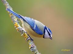 Herrerillo Común (Cyanistes caeruleus) (5) (eb3alfmiguel) Tags: aves passeriformes insectívoros paridae herrerillo común cyanistes caeruleus