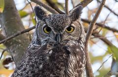 Great Horned Owl (X9B_4516-1) (Eric SF) Tags: greathornedowl owl coyotehillsregionalpark fremont ca