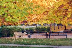 Acorn King (jarrardphotography) Tags: oaks acorn canada nikon 2470 kelowna nature buck deer autumn landscape bernadettejarrard bernadettejarrardphotography nikonz6 fall britishcolumbia colour