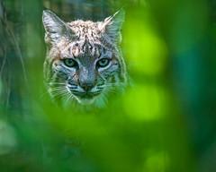ND7_9787 (cy-photography) Tags: bobcat lynx lynxrufus rufus cat bob wild wildcat nature feline felis wildlife wildlifephotos wildlifephoto nikon d700 300mm 300ais 300 manualfocus manual focus oldlens glass lens old nikkor 30028 28 300f28 f28