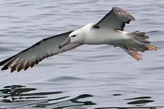 white-capped mollymawk (albatross) - Thalassarche cauta (Steve Attwood) Tags: auldwoodphotography steveattwood newzealand kaikoura bird nature wildlife thalassarchecauta whitevappedmollymawk whitecappedalbatross pelagicbird flight