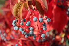 Μια πολύχρωμη καλημέρα! ~ A colorful, good morning! :-) (Argyro Poursanidou) Tags: nature macro flora greece autumn φύση μπλε κόκκινο φθινόπωρο ελλάδα lookingcloseonfriday autumnflora parthenocissusquinquefolia virginiacreeper παρθενόκισσοσ