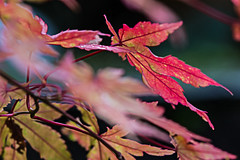 Autumn Flora (alison's daily photo) Tags: autumnflora leaves acer lookingcloseonfriday