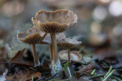 Mushroom - Elderschans - Aardenburg - The Netherlands (wietsej) Tags: mushroom elderschans aardenburg the netherlands sony a7rii a7rm2 55 18 sel55f18z paddenstoel fungus bokeh macro