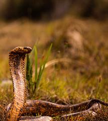 IMG_8706-2 (dtayl133) Tags: snake macro laowa manual canon africa