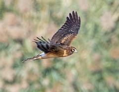 Northern Harrier (Ed Sivon) Tags: america canon nature lasvegas wildlife western wild southwest desert clarkcounty vegas flickr bird birdofprey henderson nevada