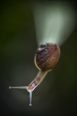 The Abyss (SkyeWeasel) Tags: smileonsaturday letitglow macro snail gardensnail cornuaspersum nature crocosmia backlight translucence raynoxdcr250 gastropod invertebrate shell ngc