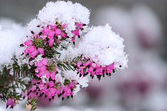 Snow crystals on heather in flowers (gilles-B) Tags: december natural mauve flowers magic snowflake frost xmas christmas holiday snow seasonal flake seasoning outdoors heather white winter crystals season closeup flower fleursetplantes plant outdoor floral weather snowfall cold bruyère green ice fresh macro beautiful hoarfrost pink climate decoration nature snowy illustration freeze background frozen