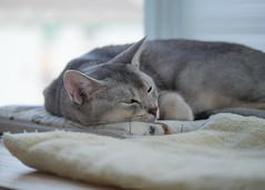 20190804_11_LR (enno7898) Tags: cat pet abyssinian panasonic lumix lumixg9 dcg9 35100mm xvario f28