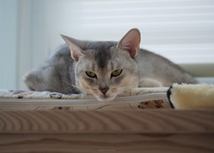20190804_06_LR (enno7898) Tags: cat pet abyssinian panasonic lumix lumixg9 dcg9 35100mm xvario f28